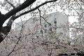 桜と7号館