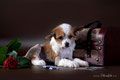 как правильно выбрать щенка китайской хохлатой