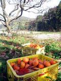 収穫した紅柿