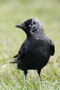 Die Dohle - Vogel des Jahres 2012. Foto: NABU/F. Derer