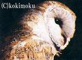 2005年入選作 メンフクロウ