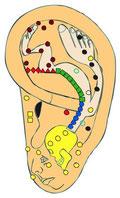 Embryo-Modell