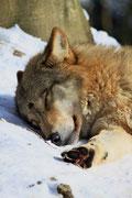 Sleeping wolf