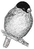 Снегирь - a bullfinch, издательство ЛИСТОС