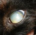 Linsenluxation bei einer Katze
