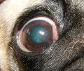 Okuläres Brachycephalensyndrom beim Hund