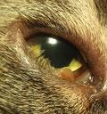 Entropium bei einer Katze