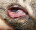 Bindehautentzündung bei einer Katze