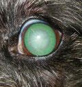 Beginnender grauer Star bei einem Hund