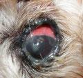 Trockenes Auge beim Hund