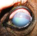 Mondblindheit beim Pferd