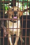 Labrador marron clair en chenil tire la langue par coach canin 16 éducateur canin en charente