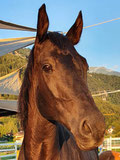 Unico, unser CH-Warmbluthengst