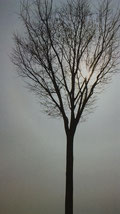 一本の樹木