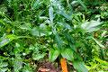 Sonnenhut / Echinacea