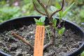"Sambung Nyawa  Gynura procumbens  ""Leaf of Life"" - das Blatt des Lebens Beschreibung"
