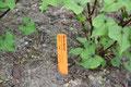 Baum - Spinat  Gemüsepflanze