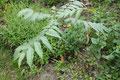 Chinesischer Gemüsebaum  Toona sinensis (Cedrela sinensis)  Maggi-Kraut auf asiatisch
