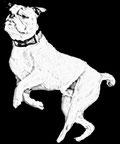 Continental Bulldog tanzt