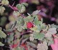 Wilde Stachelbeere mit gelb-roten Früchten und ohne Anzeichen von Mehltau, gefunden bei Westhalten