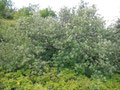 Strauchig wachsende Kreuzung unter Beteiligung der Zwerg-Mehlbeere auf dem Großen Belchen