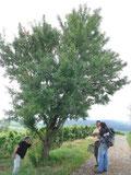 Auf dem Mandelberg bei Mittelweier fanden sich viele solcher gesunder, wurzelechter Mandeln