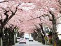 桜トンネルを通りぬける動画だよ