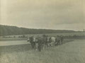 Oxen ploughing in Bartley Green 1905. Thanks to King Edward VI Five Ways School Local History Digital Archive with whose kind permission this image is reproduced. All Rights Reserved. See Acknowledgments for a direct link to the site.