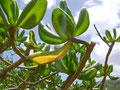 ハワイの草木は緑が鮮やかです。