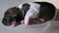 Welpe 1, Rüde, 8 Tage alt