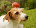 bevor Wurzel die Armbrust holen konnte, wurde der Apfel aufgegessen. War wohl besser so...