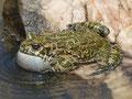 Wechselkröte (Bufotes viridis)