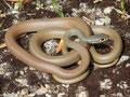 Schlanknatter (Platyceps najadum)