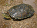 Maurische Bachschildkröte (Mauremys leprosa)