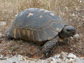 Breitrandschildkröte (Testudo marginata)