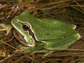 Iberischer Laubfrosch (Hyla molleri)