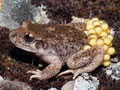 Südostiberische Geburtshelferkröte (Alytes dickhilleni)
