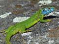 Westliche Smaragdeidechse (Lacerta bilineata)
