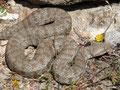 Milosotter (Macrovipera schweizeri)