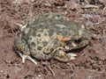 Iberische Geburtshelferkröte (Alytes cisternasii)