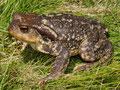 Westliche Erdkröte (Bufo spinosus)