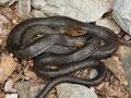 Pfeilnatter (Dolichophis jugularis)