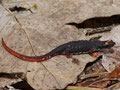 Südlicher Brillensalamander (Salamandrina terdigitata)