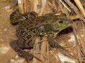 Italienischer Wasserfrosch (Pelophylax bergeri)