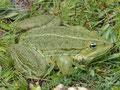 Seefrosch (Pelophylax ridibundus)