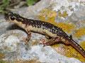 Karpathos-Salamander (Lyciasalamandra helverseni)