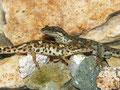 Sardischer Gebirgsmolch (Euproctus platycephalus)