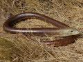 Scheltopusik (Pseudopus apodus)