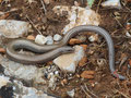 Gesprenkelter Schlangenskink (Ophiomorus punctatissimus)