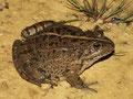 Grafscher Hybridfrosch? (Pelophylax kl. grafi?)